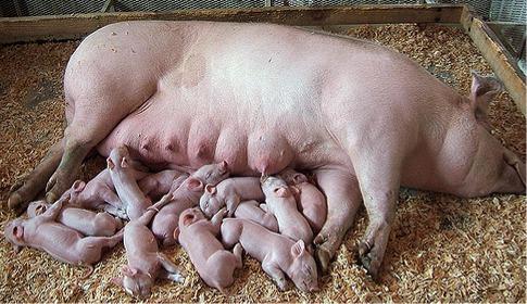 pigs sucking